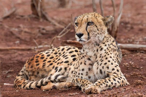 Cheetah (Acinonyx jubatus) female, Zimanga private game reserve, KwaZulu-Natal, South Africa, September 2016