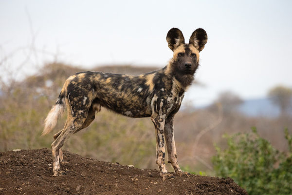African wild dog (Lycaon pictus), Zimanga private game reserve, KwaZulu-Natal, South Africa, September 2016