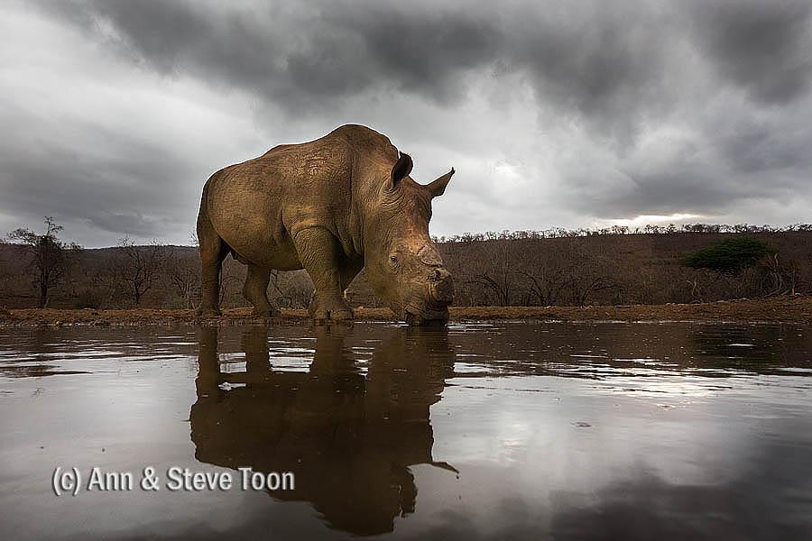 White rhino, Zimanga nocturnal hide
