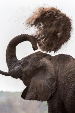 African elephant bull flinging dust over his  body with his trunk  (Loxodonta africana), Chobe national park, Botswana, Africa, October 2014