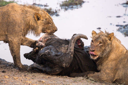 Young male lions (Panthera leo) feeding on a Cape buffalo (Syncerus caffer) kill, Chobe national park, Botswana, September 2016