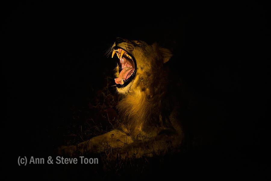 ZImanga lion yawning at night
