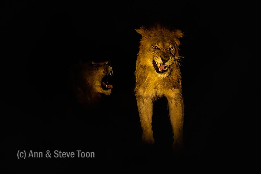 Zimanga lions at night