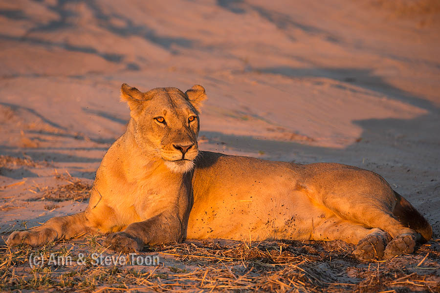Lioness, Chobe national park