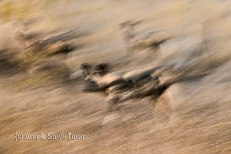 African wild dog, Zimang