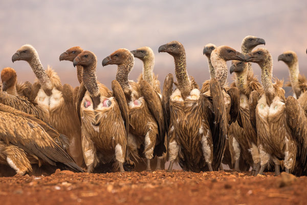 Whitebacked vulture gathering to feed