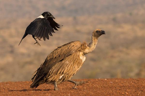 Whitebacked vulture (Gyps africanus) mobbed by pied crow (Corvus albus), Zimanga private game reserve, KwaZulu-Natal, South Africa, June 2017