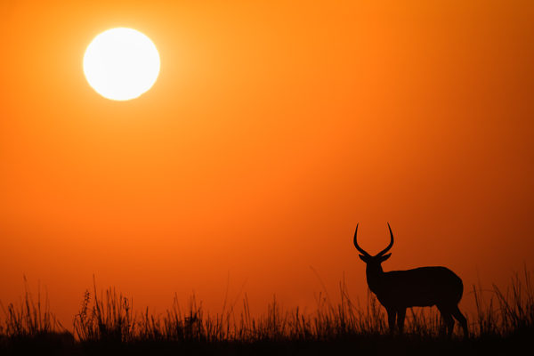 Red lechwe male at sunset