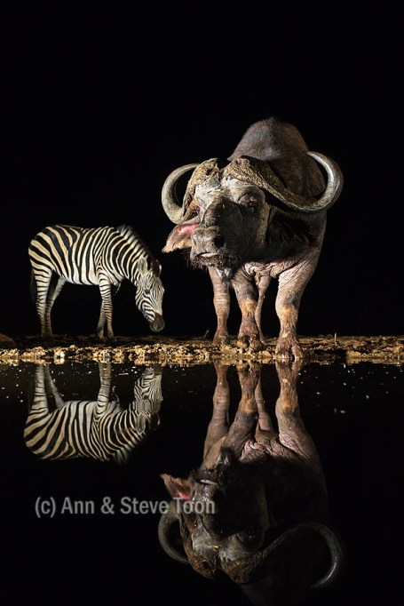 Cape buffalo and plains zebra, nocturnal hide, Zimanga