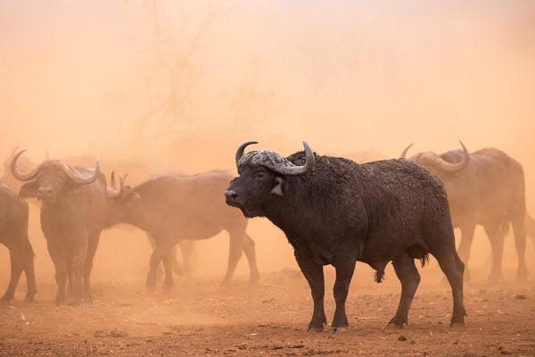 Cape buffalo (Syncerus caffer) herd, Zimanga private game reserve, KwaZulu-Natal, South Africa, September 2016