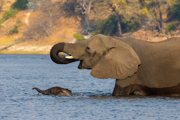 African elephant mother with baby crossing rive