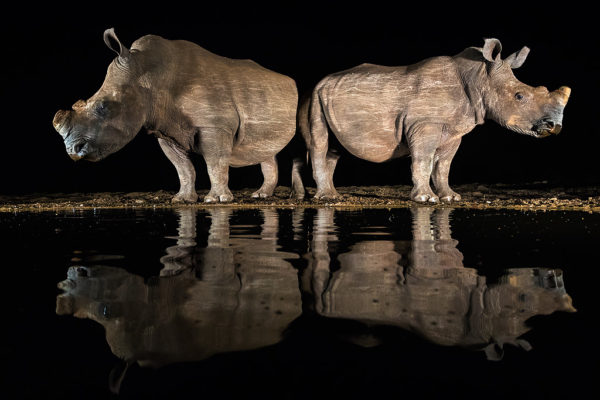 White rhino drinking at night