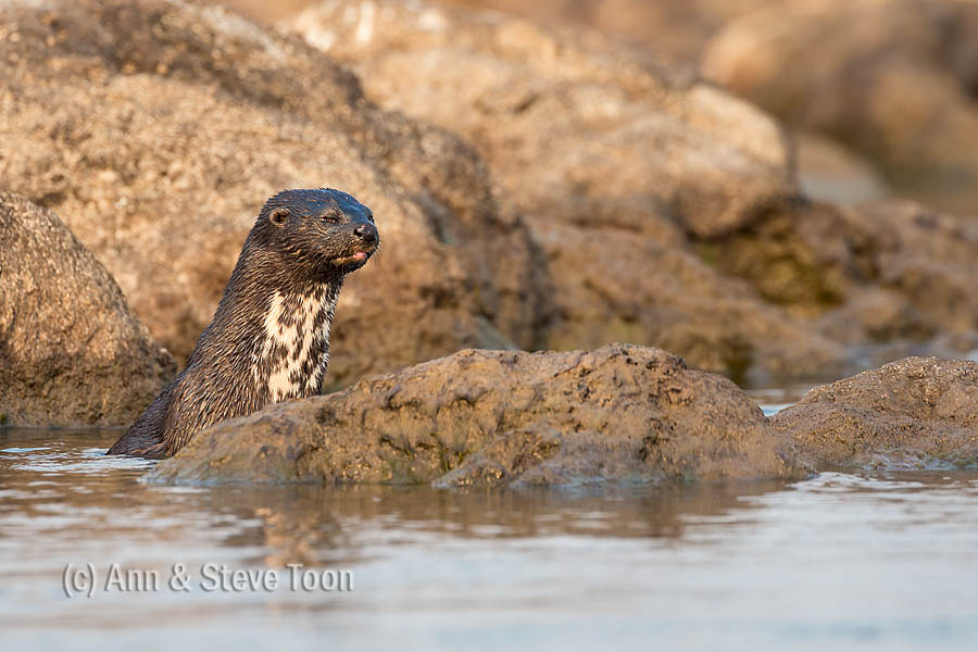Spotted necked otter