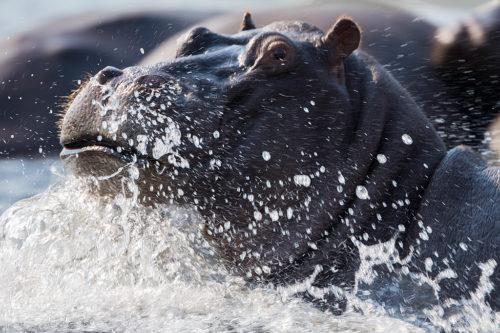 Hippopotamus splashing, Chobe river, Botswana