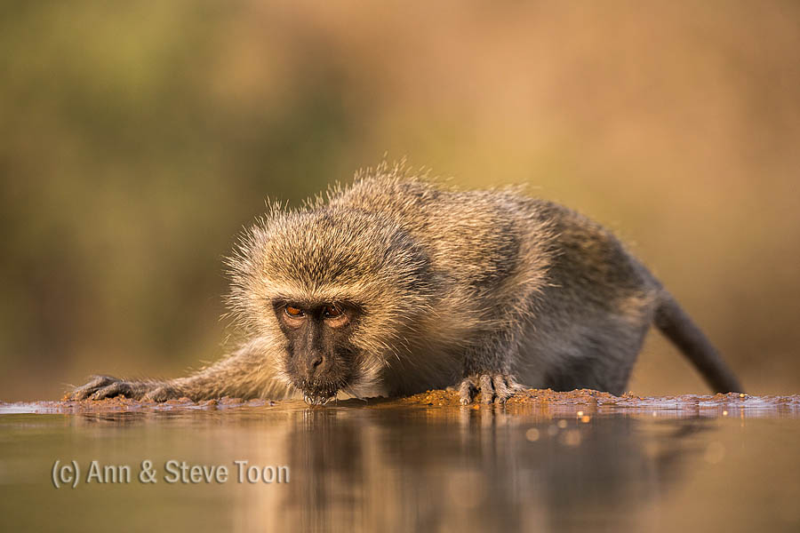 Monkey business: a vervet monkey visits one of Zimanga's refection hides