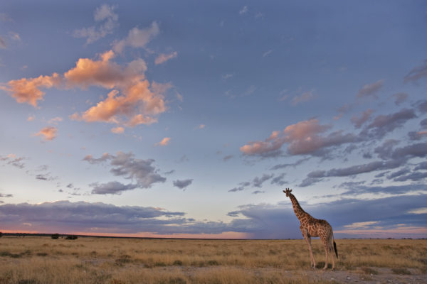 Giraffe at dusk, Etosha