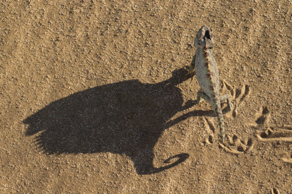 Namaqua chameleon, Namib Desert, Namibia