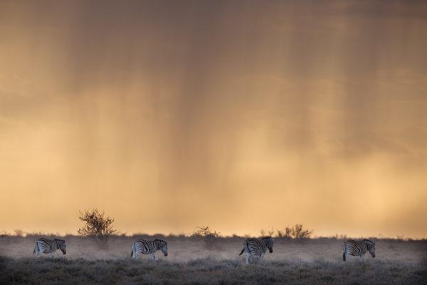 Plains zebra, Etosha Namibia