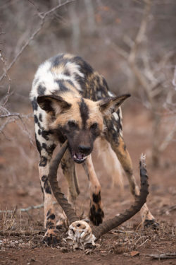 African wild dog chewing old impala horns, Zimanga