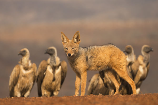 Blackbacked jackal (Canis mesomelas) with whitebacked vultures (Gyps africanus), Zimanga private game reserve, KwaZulu-Natal, South Africa, September 2016