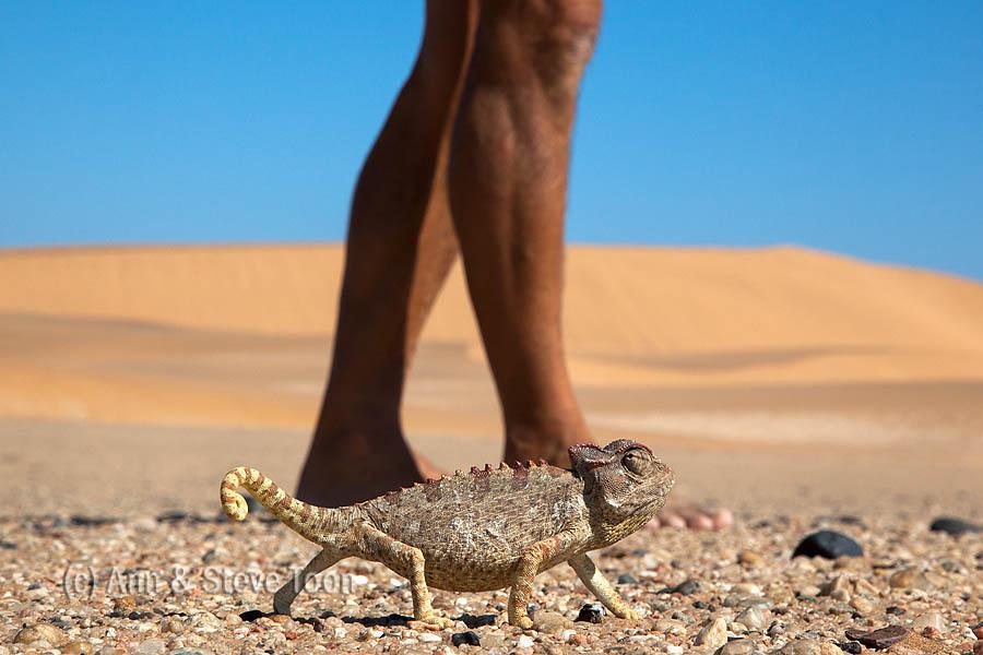Namaqua chameleon