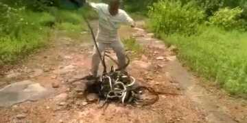 Guy Released Hundreds of Snakes