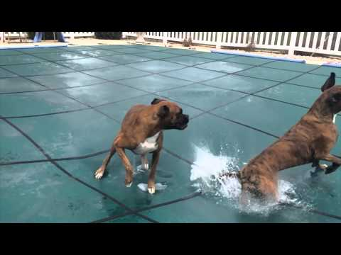 Two dogs playing on the pool cover