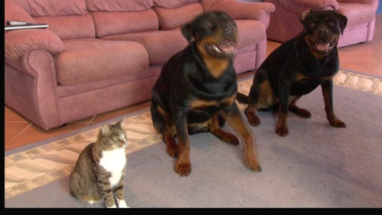 Cat and two Rottweilers