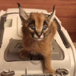 Caracal screams for food