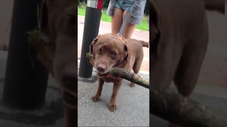 Dog carries a tree home