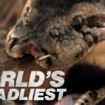 Python eats antelope