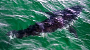 Shark-Water.jpg