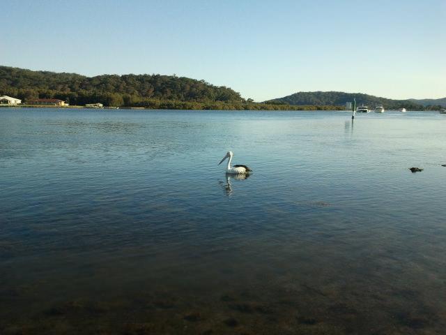 davistown pelican