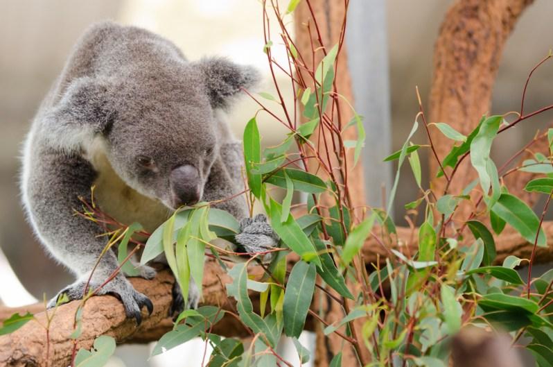 Lone Pine Zoo Koala