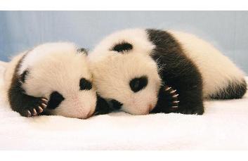 panda-cubs_1419419i