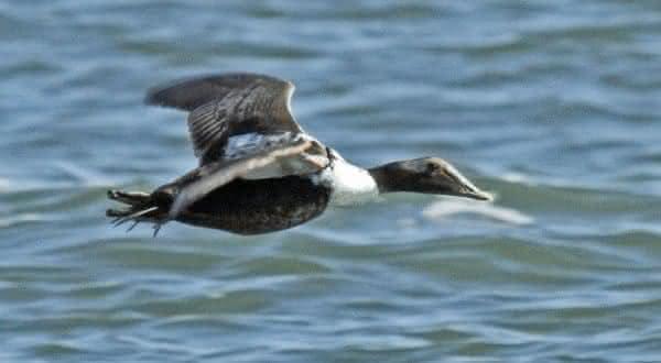 Pato-eider voa muito rápido