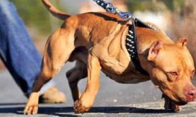 Top 10 raças de cães mais perigosas do mundo 1