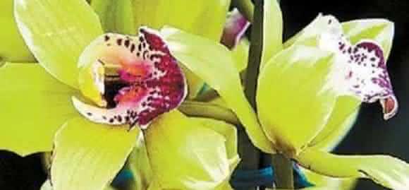Orquidea Shenzhen Nongke
