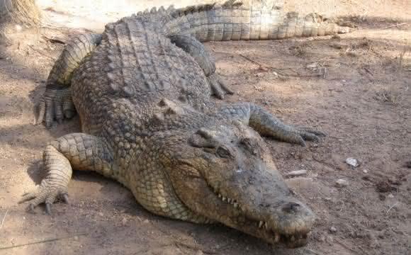 crocodilo-de-agua-salgada