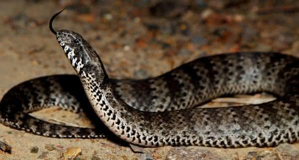 Cobra da morte cobras mais venenosas