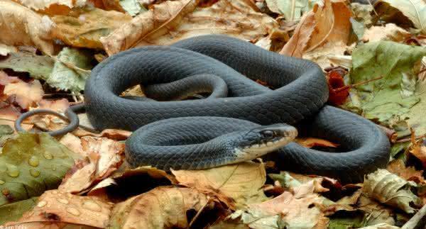 Cobras mais perigosas