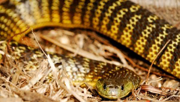 Serpente tigre cobras venenosas