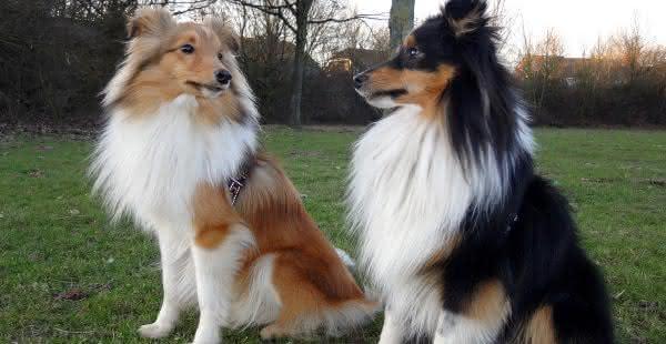 pastor Shetland entre raças de cães mais fáceis de treinar
