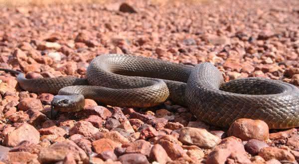 Taipan cobras venenosas
