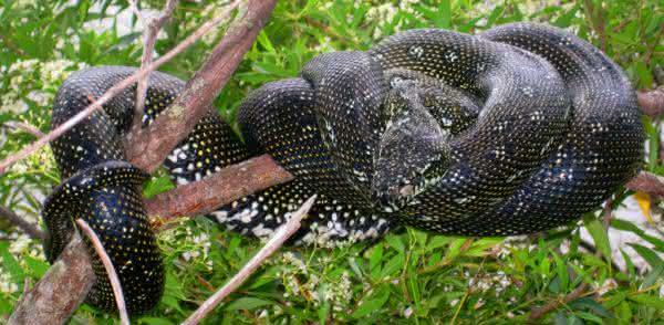 Piton-Diamante foto maior cobra do mundo