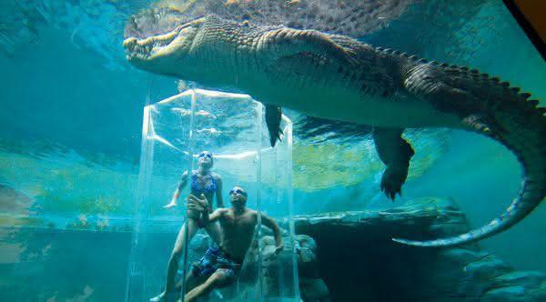 crocodilo de agua salgada