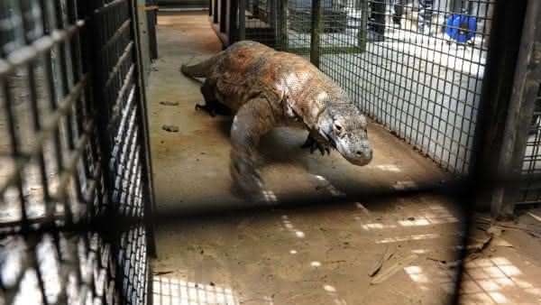 dragao de komodo um dos animais mais perigosos do mundo