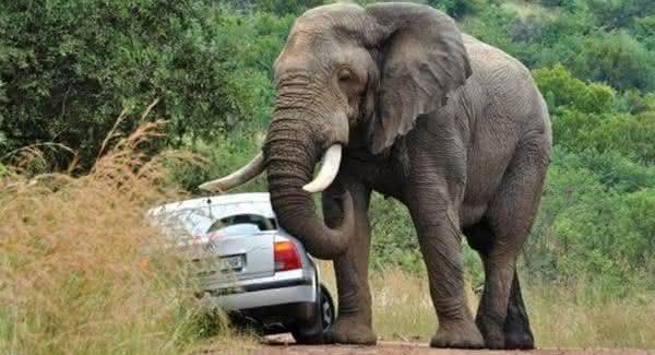 elefante entre os animais que mais matam pessoas