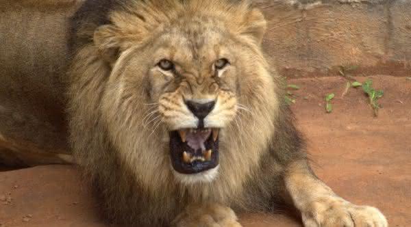 leao africano entre os animais que mais matam pessoas