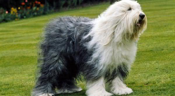 Old English Sheepdog uma das racas de caes mais doceis